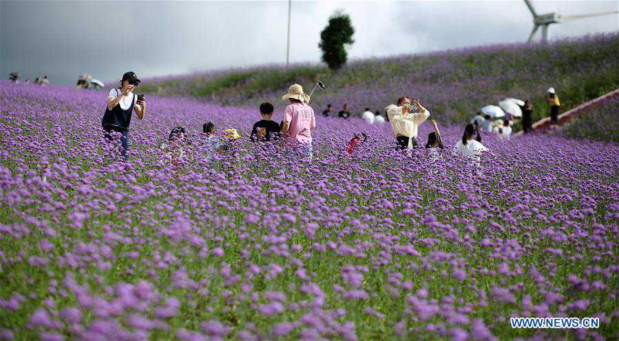 Tourists enjoy themselves in verbena field in Guizhou, SW China